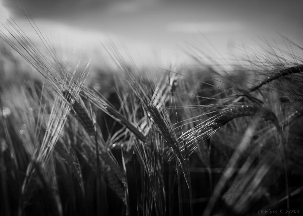 wheat_ElinaK