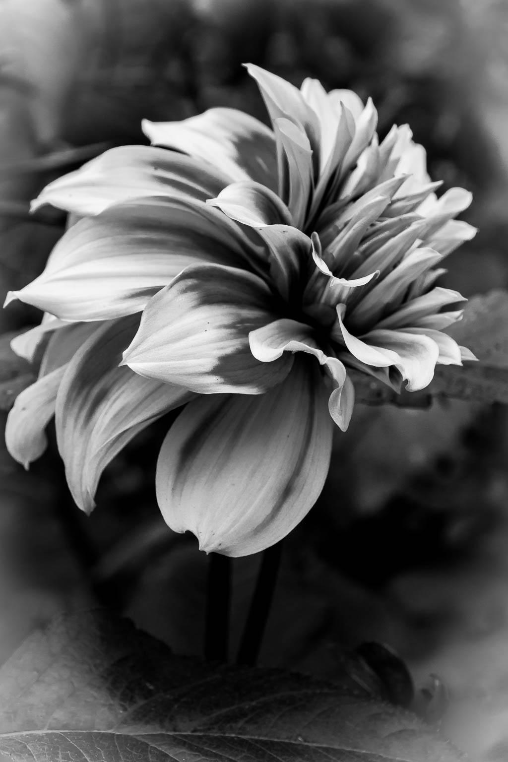 Black Dahlia 120
