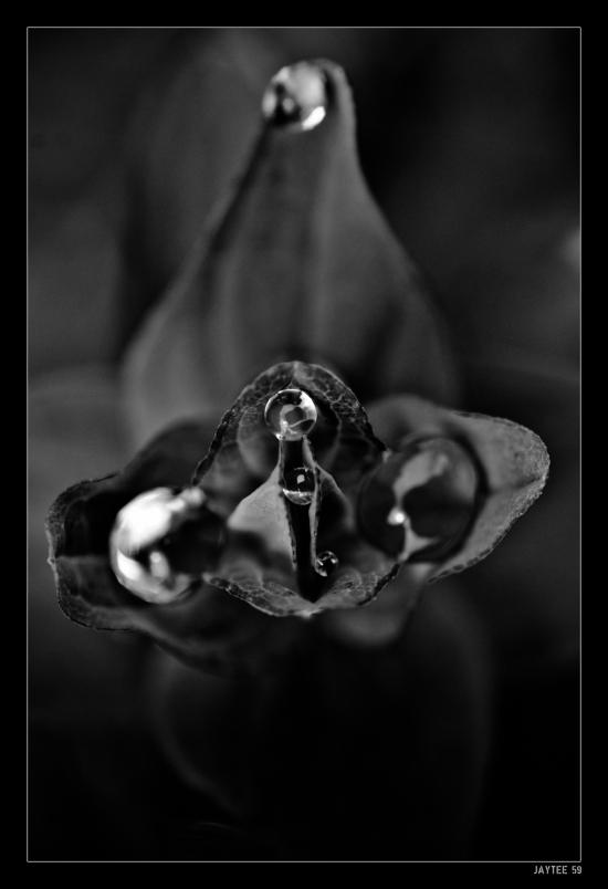dew_plant_jaytee59_16bw1