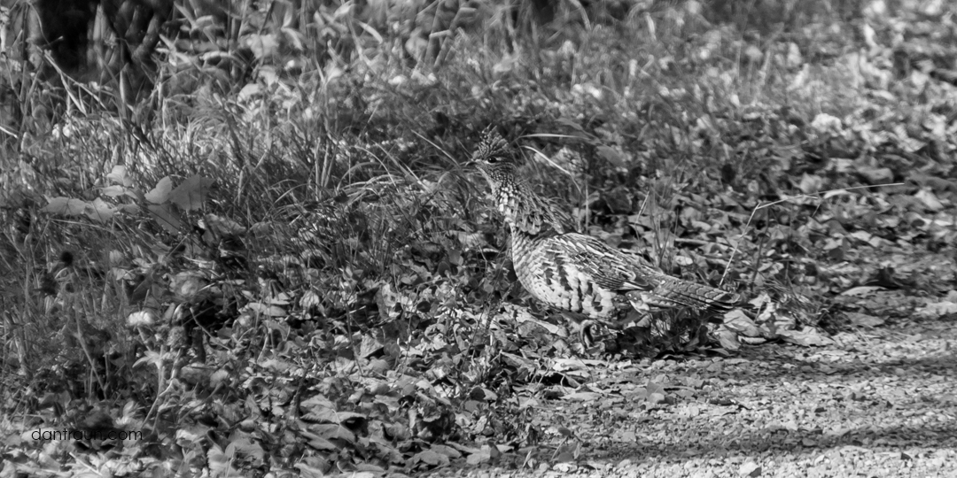2016-09-02 Ruffed Grouse