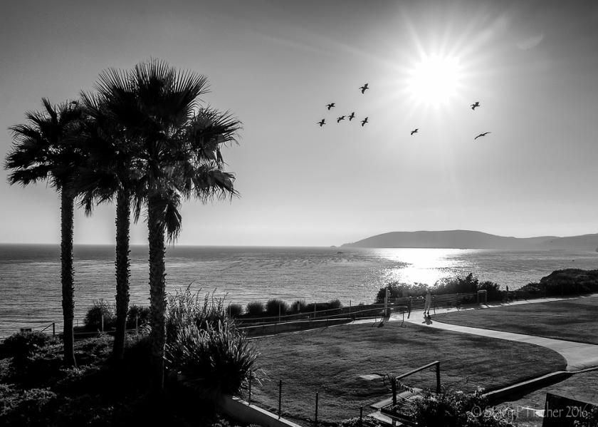 Pelican Silhouettes Pismo Beach California