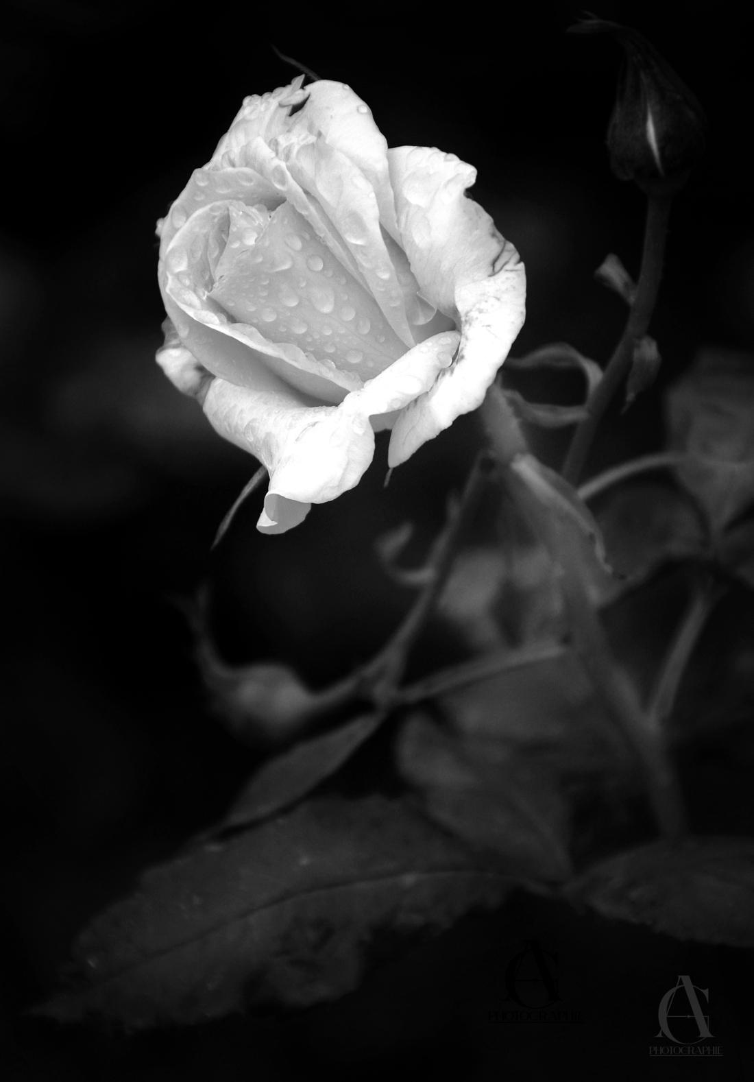 Retouche bw rose - 1