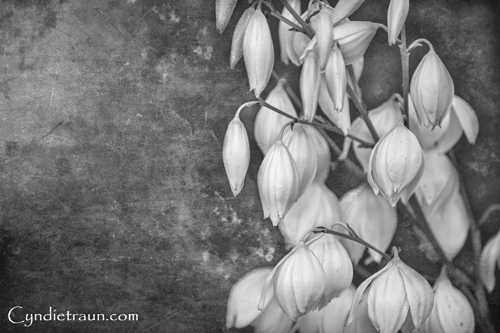 Yucca Flower-8198