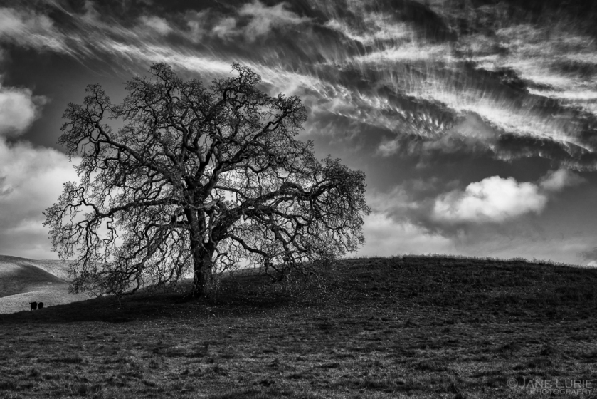 oak-in-winter-carneros-jane_lurie