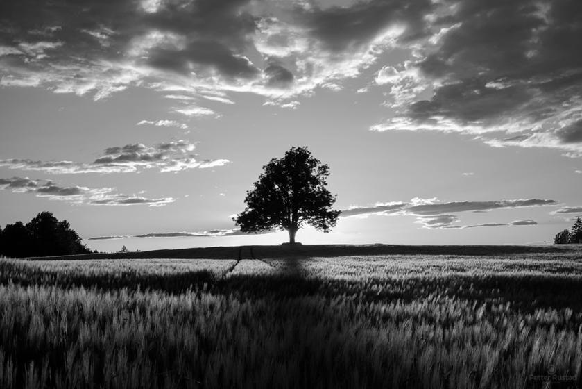 Midsummer Silhouette