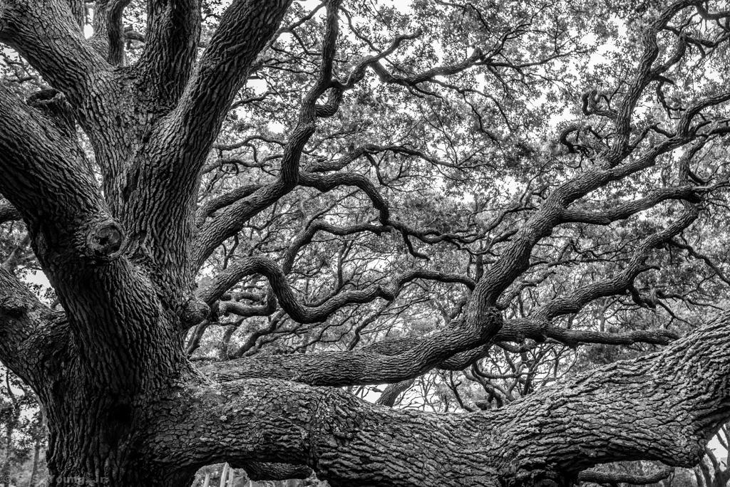 Mighty, Majestic Live Oak