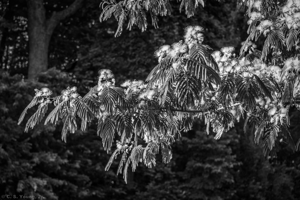 Mimosa Tree Composition 7 Monochrome