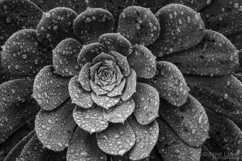 Close-Up, Succulent, Rain, Photography, Black and White, Monochrome, Fujifilm X-T2