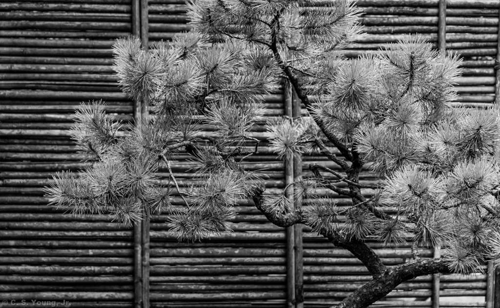 Japanese Black Pine Composition 1