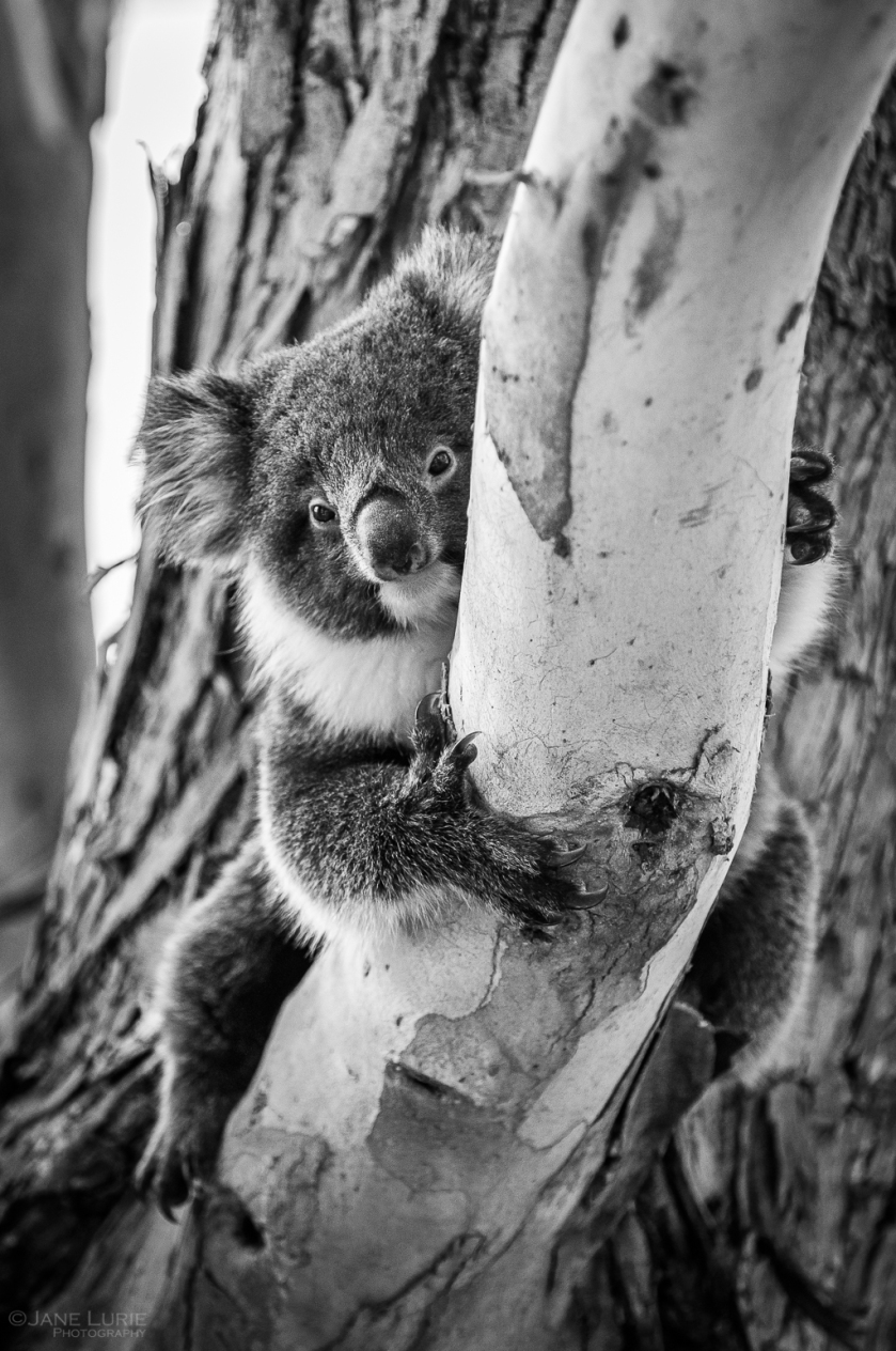 Australia, Photography, Nature, Koala, Wildlife, Conservation