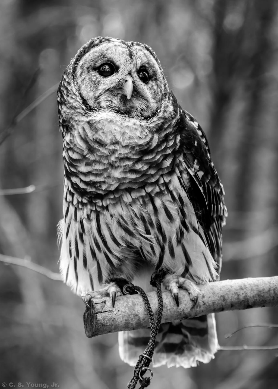 Barred Owl 1 Monochrome