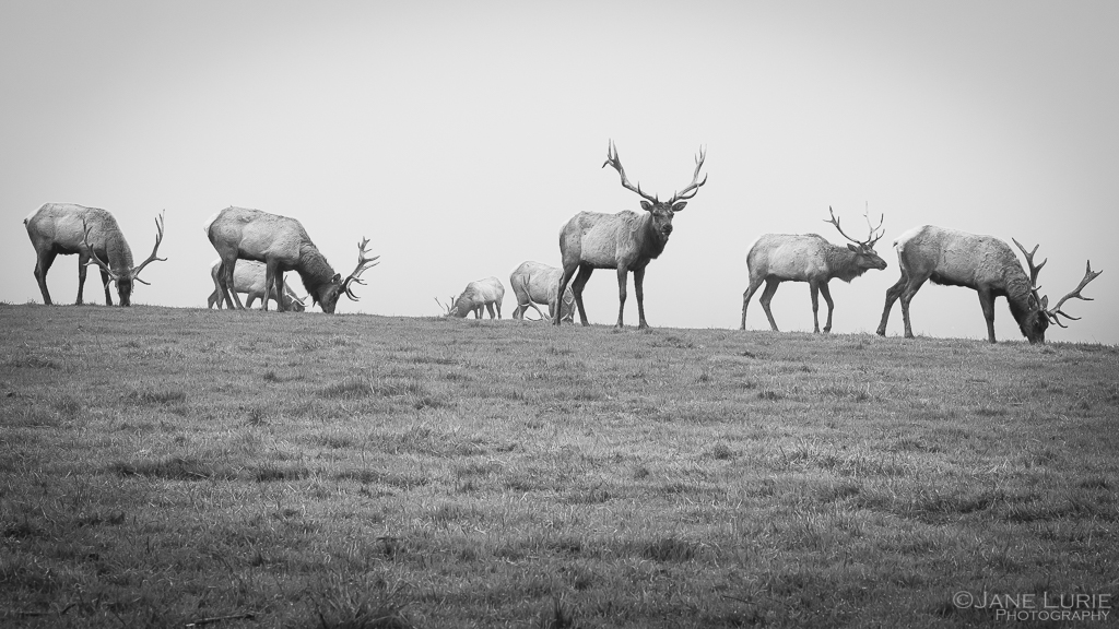 Nature, Tule Elk, California, Wildlife, Photography