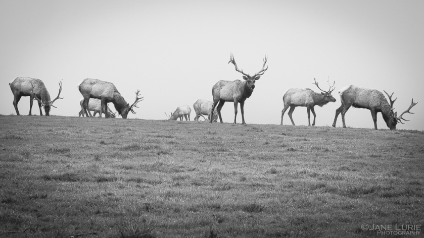 Nature, Tule Elk, California, Wildlife, Photography