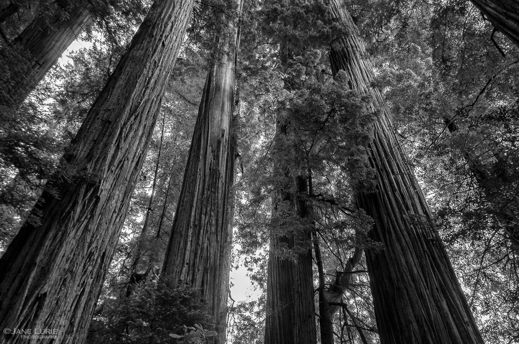Redwood, Photography, Nature, Black and White, Monochrome