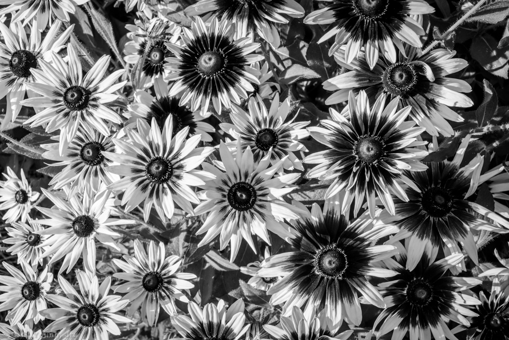 Black Eyed Susan In Black and White