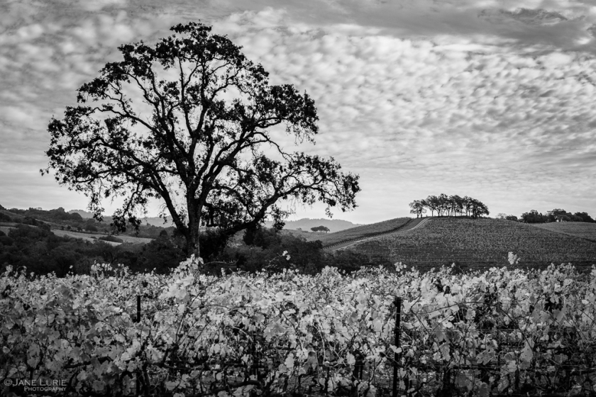 Landscape, Photography, Black and White, Nature, California, Vineyard