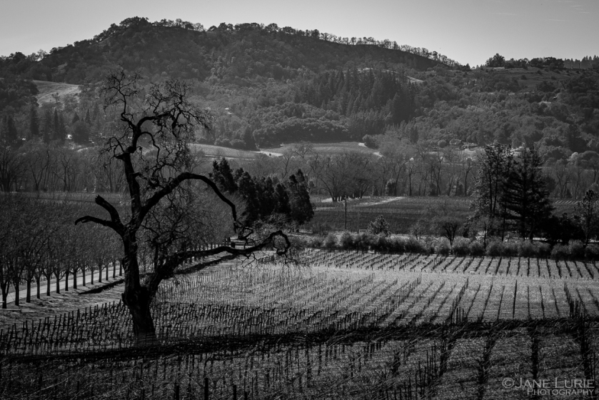 Vineyard, Photography, Black and White, Oak Tree, Fujifilm XT2