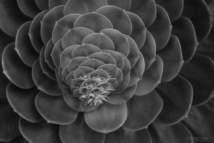Plant, Photography, Close-up, Fujifilm x-T2, Black and White, Succulent