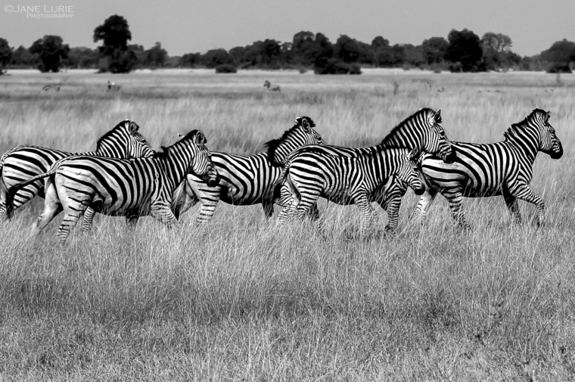 Africa, Wildlife, Zebra, Nikon, Photography