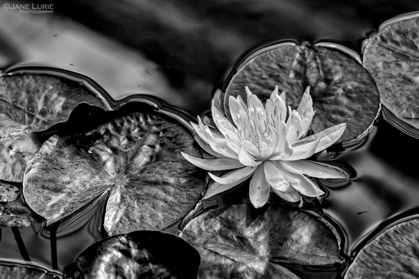 Flowers, Close-Up, Photography, Black and White, Monochrome
