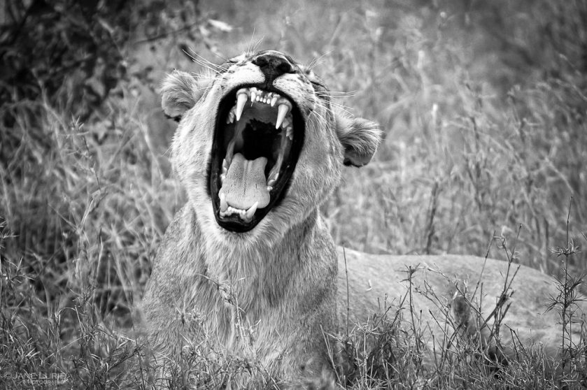 Africa, Wildlife, Black and White, Photography, Lion