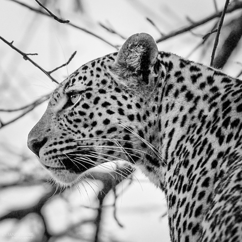 Leopard, Africa, Black and White, Photography, Nikon