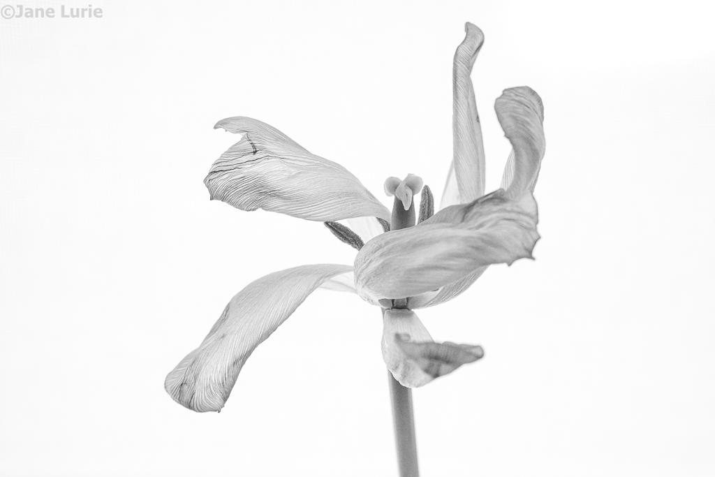 Tulip, Dead Flower, Photography, Close-Up, Black and White, Monochromia, Monochrome