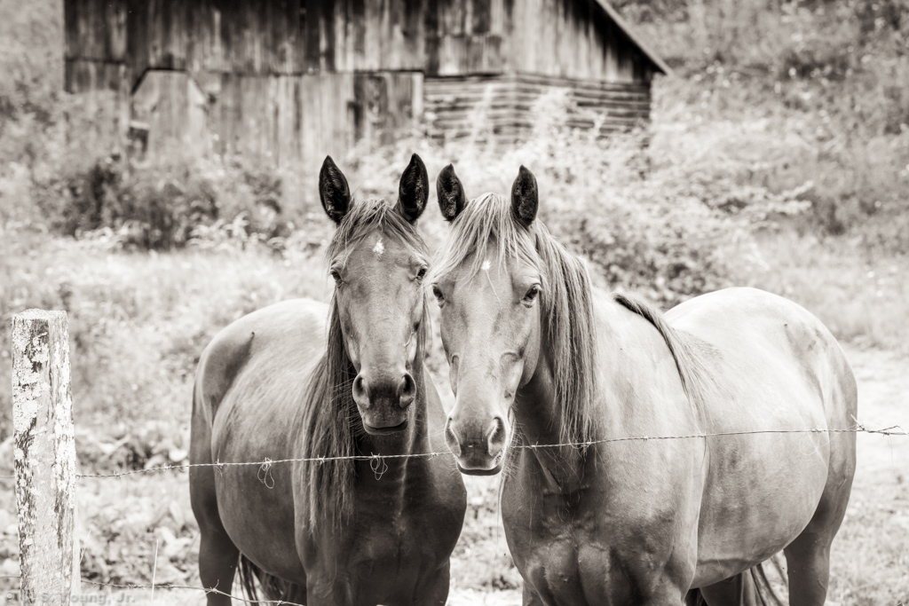 Horses on North Fork New River Rd Composition 1