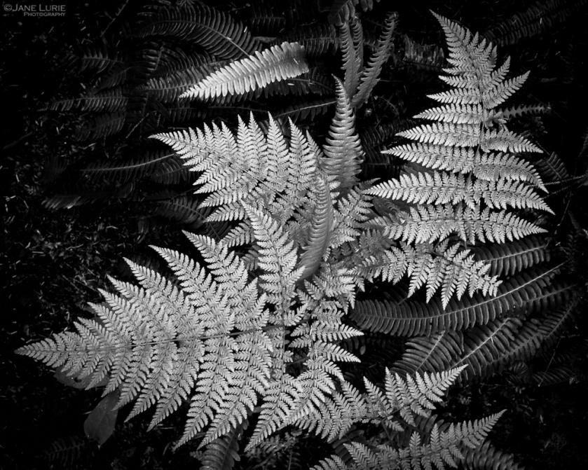 Fern, Plant, close-up, Nature, Black and white, Monochrome